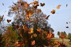 Падая листья дерева клена Стоковые Фото