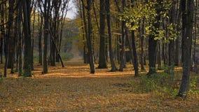 Падая листья желтого цвета сток-видео