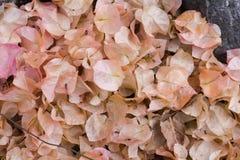 падая розовые цветения на земле Стоковые Фотографии RF