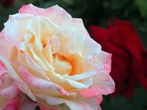 Палевый к пинку Розе Стоковое фото RF