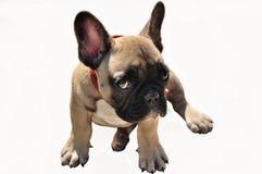 Палевый щенок говорит к вам что он не знает кто сделало это Стоковое фото RF