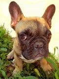 Палевый щенок говорит к вам & x22; Hi& x22; Стоковые Фото