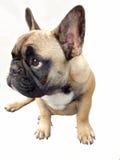 Палевый щенок ищет я дома Стоковое фото RF