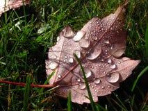Кленовый лист в утре Стоковая Фотография RF
