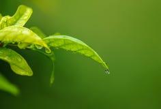 Падение воды от зеленых лист Стоковое Фото