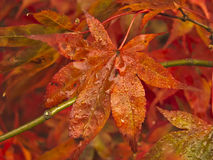 Падение листьев осени Стоковая Фотография