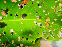 Падение лист Corynespora Стоковые Изображения RF