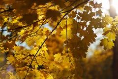 падение Канады осени выходит клен сфокусируйте мягко Стоковые Изображения RF