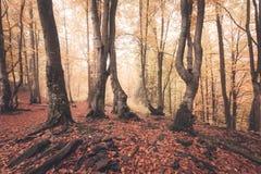 Падение красит старое туманное полесье Стоковое Изображение