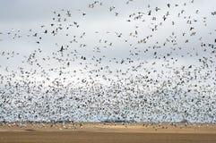 Падение миграции гусыни снега Стоковые Изображения
