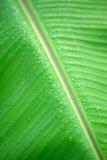 Падение дождя на зеленых лист банана Стоковая Фотография