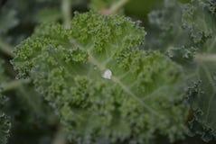 Падение острословия листовой капусты воды Стоковое Фото