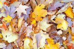 падение предпосылки осени выходит клен Стоковая Фотография RF