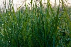 Падение росы утра на траве Стоковое фото RF