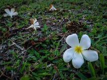 Падение Plumeria на землю травы Стоковые Изображения