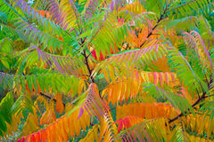 Падение sumac staghorn дерева Стоковое Фото