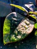 Падения воды в лист Стоковая Фотография