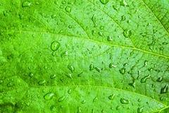 Падения воды на зеленых листьях виноградины выйдите текстура Стоковая Фотография RF