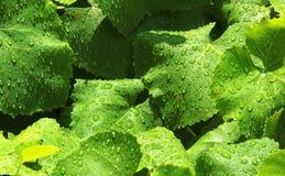 Падения воды на зеленых листьях виноградного вина Стоковые Фотографии RF