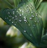 Падения воды на зеленых листьях Стоковые Фотографии RF