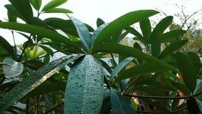 Падения воды на листьях дерева видеоматериал