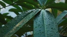 Падения воды на листьях дерева сток-видео