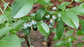 Падения воды на листьях и ягодах Стоковые Фотографии RF
