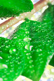 Падения воды на листьях Стоковая Фотография RF