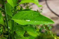 Падения воды на листьях Стоковая Фотография
