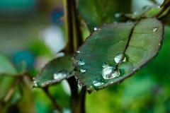 Падения воды на лист подняли Стоковое Фото