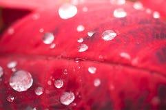 Падения воды на красной предпосылке leaf стоковое изображение rf