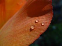 3 падения воды на оранжевом лепестке тюльпана Стоковые Фотографии RF
