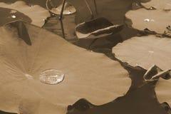 Падения воды на лотосе листают, естественная предпосылка Стоковые Изображения