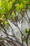 Падения воды на паутине на заводе с крошечными ягодами закрывают вверх Стоковые Изображения RF