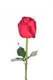 Роза красного цвета Стоковая Фотография