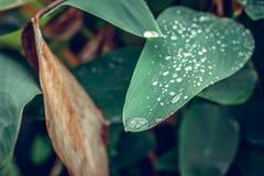 Падения воды на свежих зеленых тропических лист Тропики Бали, Индонезия Свежая зеленая экзотическая предпосылка Стоковая Фотография