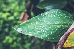 Падения воды на свежих зеленых тропических лист Тропики Бали, Индонезия Свежая зеленая экзотическая предпосылка Стоковая Фотография RF