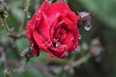 Падения воды на flower3 Стоковые Изображения