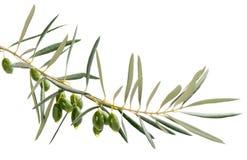 Падения масла от зеленых оливок на ветви Стоковое Фото
