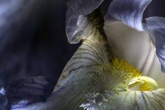 Падения на цветке радужки Стоковые Изображения