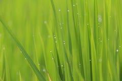 Падения дождевой воды конца-вверх или падения росы на зеленом рисе field Стоковые Фотографии RF