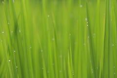 Падения дождевой воды конца-вверх или падения росы на зеленом рисе field Стоковое Изображение RF
