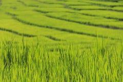 Падения дождевой воды конца-вверх или падения росы на зеленом рисе field Стоковая Фотография