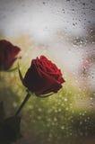 Падения дождя и Роза стоковые изображения rf