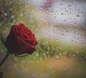 Падения дождя и Роза стоковые фото
