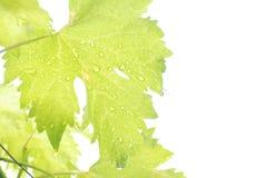 Падения дождя на виноградине выходят солнечный свет на белую предпосылку Стоковые Изображения RF