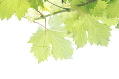 Падения дождя на виноградине выходят солнечный свет на белую предпосылку Стоковое фото RF