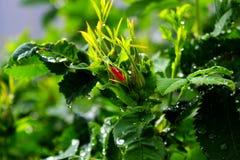Падения дождя на листьях Стоковое Изображение
