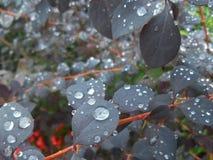 Падения дождя на фиолетовых листьях Стоковое фото RF