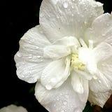 Падения дождя на цветке Стоковая Фотография